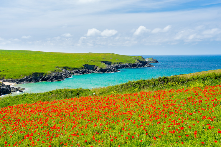 poppies on headland in Cornwall