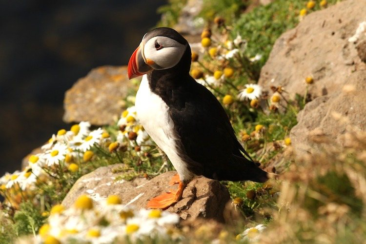 puffin spotting in Cornwall