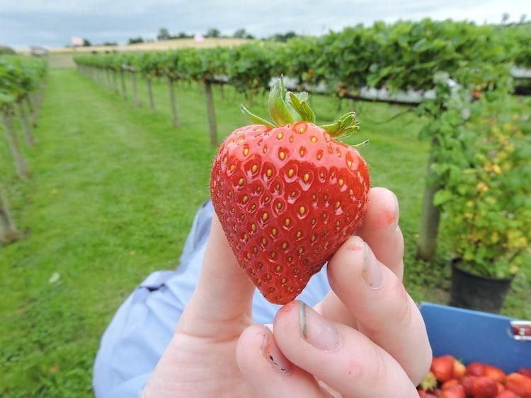 strawberry-picking-cornwall