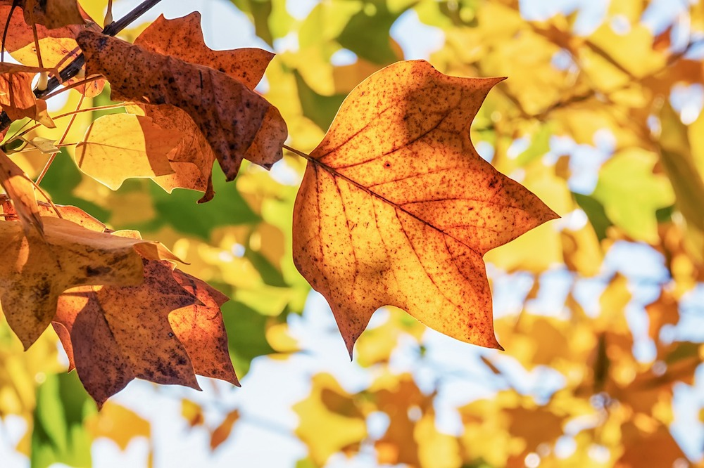 autumn leaves close up in Cornwall