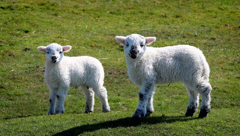 spring lambs cornwall