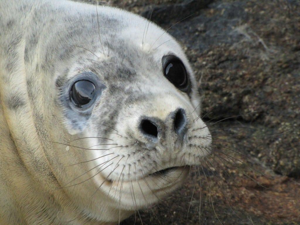 Cornish seal
