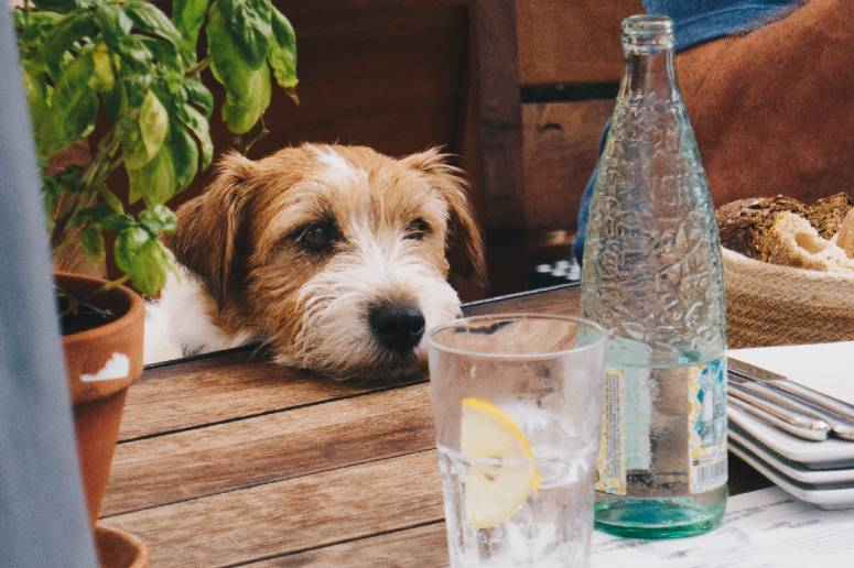 dog at table in a restaurant in Padstow